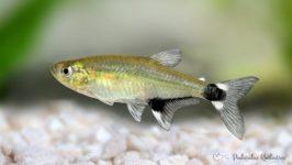 Żwawik paragwajski - ryby