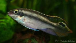 Ryba akwariowa barwniak
