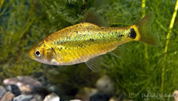 Brzanka zielona - Puntius semifasciolatus