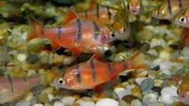 Ryby akwariowe - Brzanki