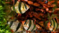 Ryby akwariowe - Brzanka sumatrzańska