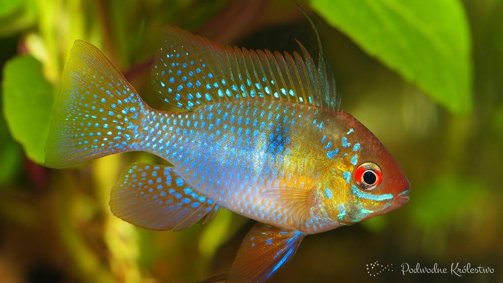 Podwodne Kr 243 Lestwo Ryby Akwariowe Pielęgnica Ramireza