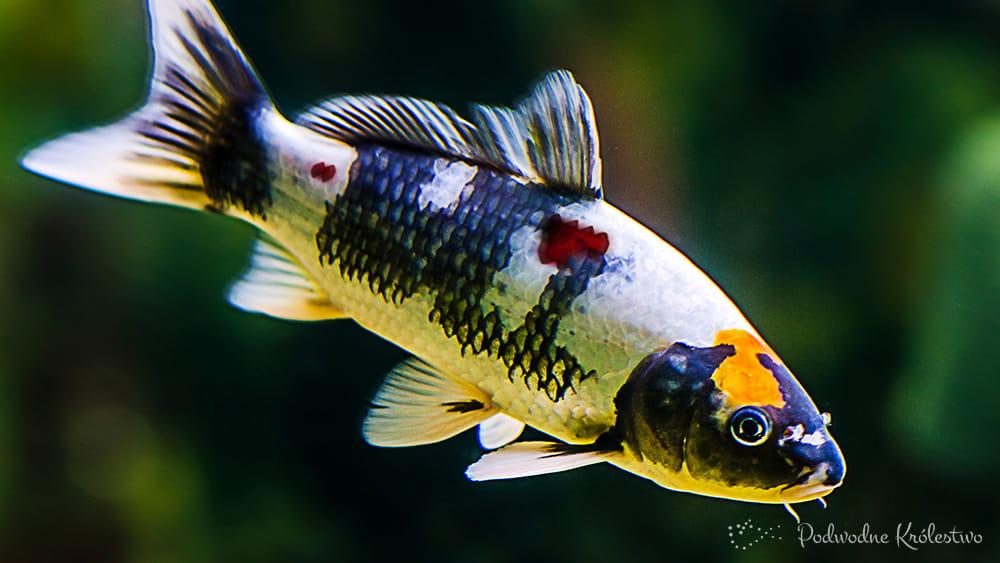 Choroby ryb - zmiany na skórze