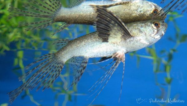 Ryba Motylowiec