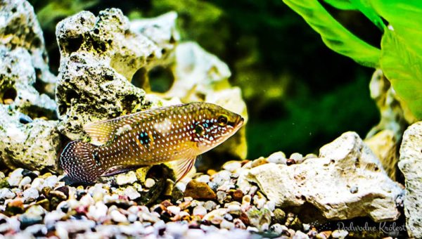 Pleśniawka u ryb