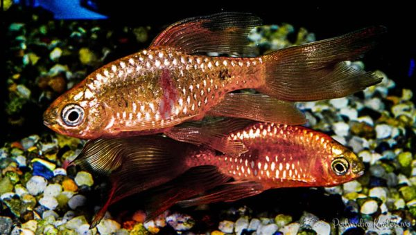 Posocznica u ryb