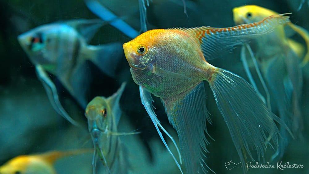 Podwodne kr lestwo ryby akwariowe skalar aglowiec for Skalar aquarium