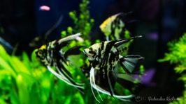 Skalary w akwarium