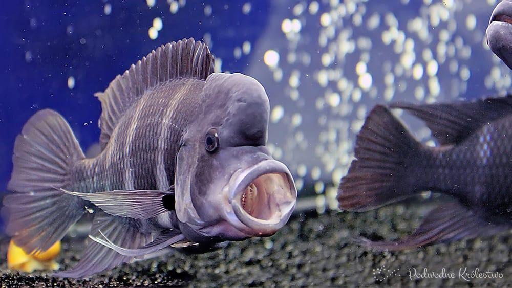 Podwodne Królestwo Ryby Akwariowe Pyszczak Hełmiasty