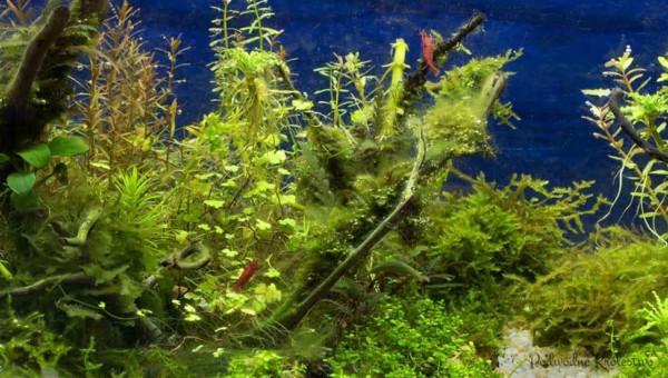 Glony akwariowe