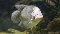 Gurami olbrzymi - ryby akwariowe