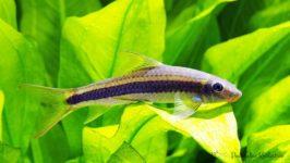 Grubowarg złotopręgi - ryby akwariowe