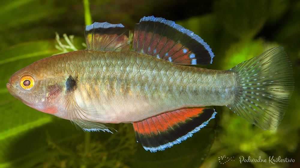 Śpioszka - rybki akwariowe