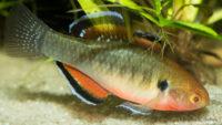 Śpioszka pomarańczowa - ryby akwariowe