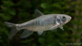 Opsariichthys kaopingensis 2