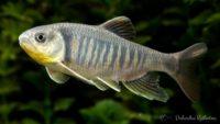 Opsariichthys kaopingensis