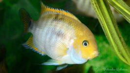 Pielęgnica Sajica - ryby akwariowe