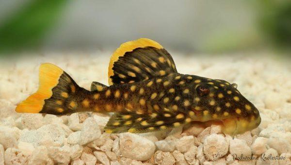 Plecostomus-L-018