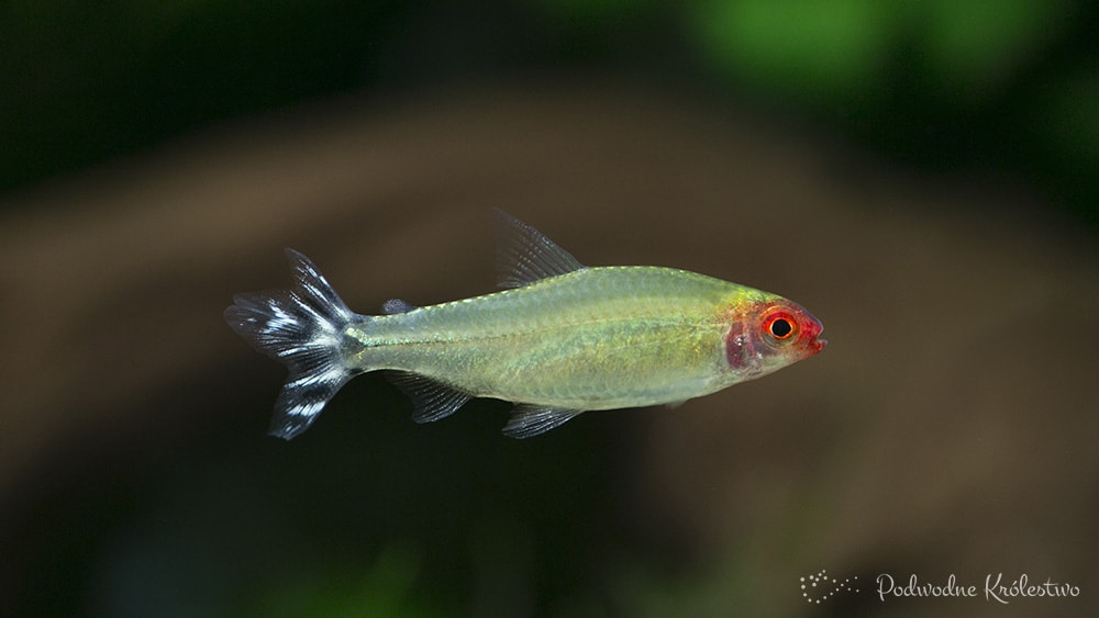 Zwinnik czerwonousty (Rodostomus)