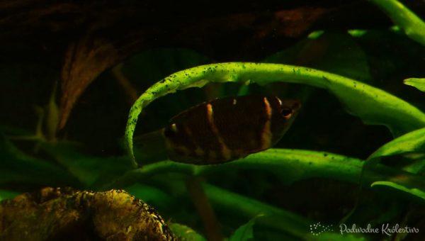 Gurami Czekoladowy, Czekoladowiec malajski