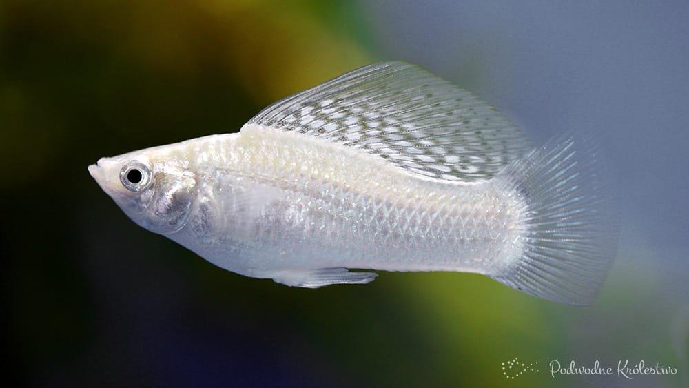 Molinezja żaglopłetwa