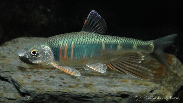 Zacco platypus