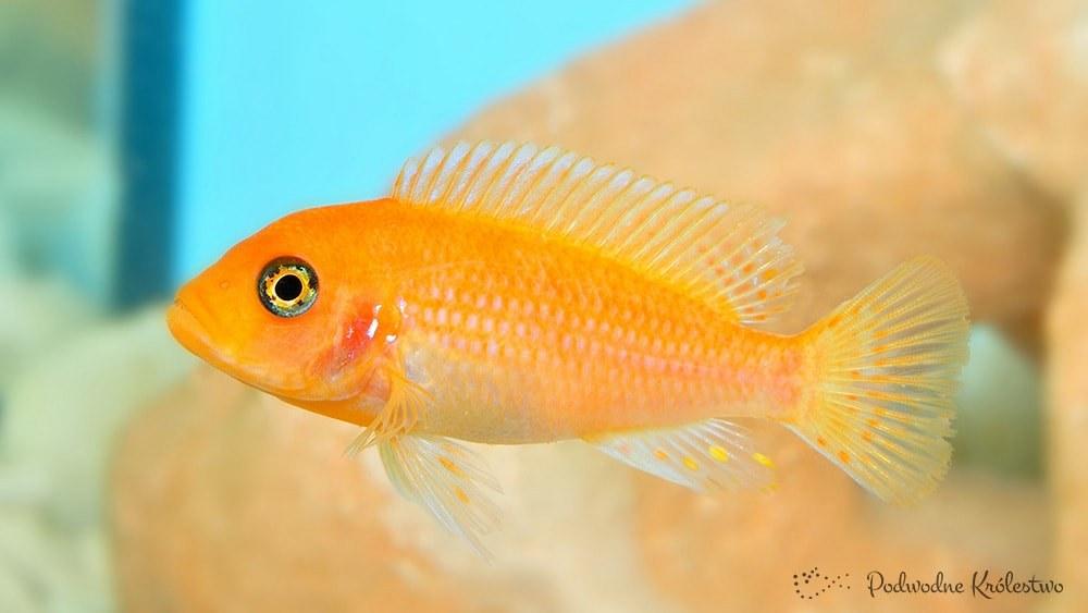 Podwodne Królestwo Ryby Akwariowe Pyszczak Red Pyszczak