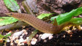 Macrognathus panacalus