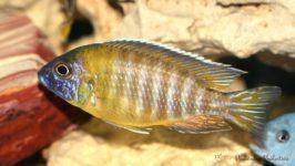 Alunocara hueseri - ryby