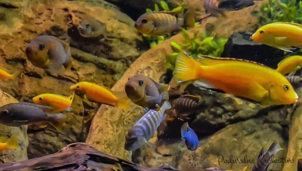 Zbyt dużo ryb w akwarium