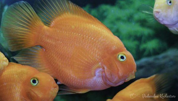 Ryby papuzie