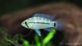 Ryby akwariowe - Apistogramma sp. Steel Blue