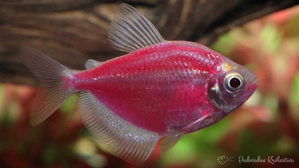 Barwione ryby do akwarium