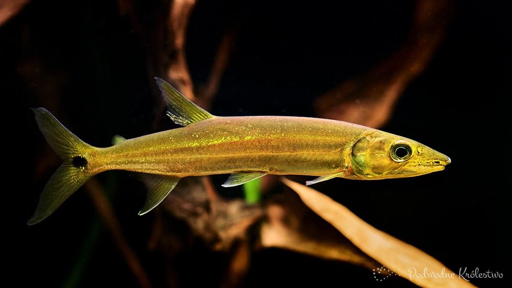 Acestrorhynchus falcirostris