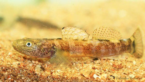 Ryby akwariowe - Chaenogobius annularis