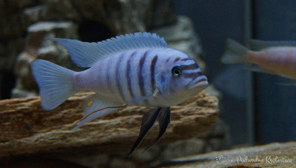 ryby akwariowe - pseudotropheus