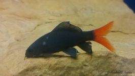 ryba labeo