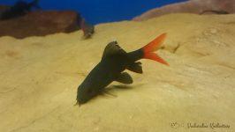 Grubowarg dwubarwny, Labeo bicolor