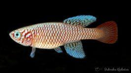 Nothobranchius kilomberoensis ryba