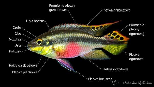 Budwa ryb akwariowych