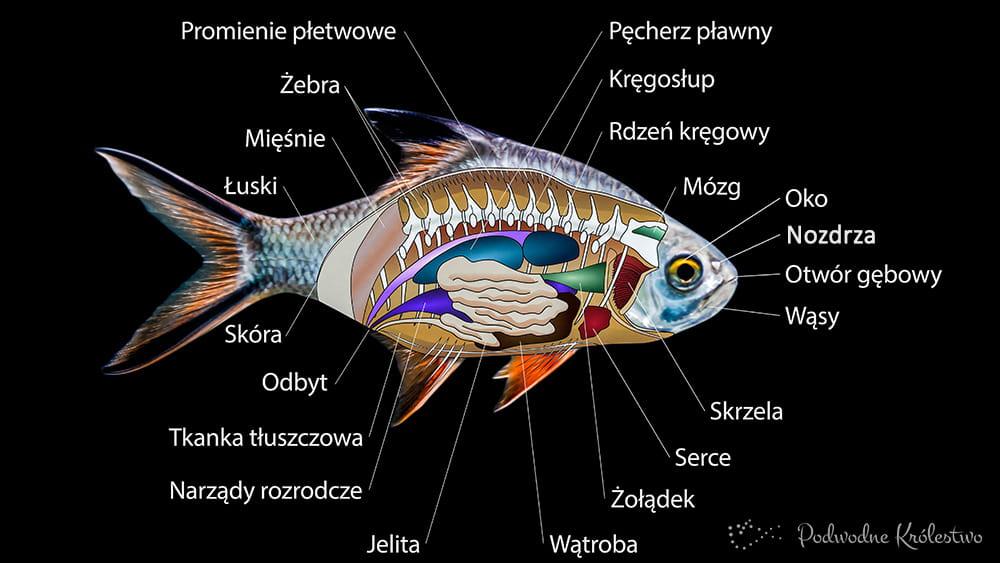 Organy wewnetrzne ryb