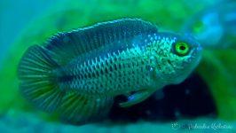 Akara paskowana - ryby akwariowe