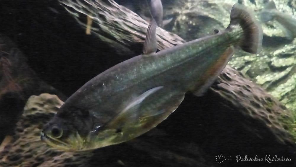 Hydrolycus scomberoides - Payara