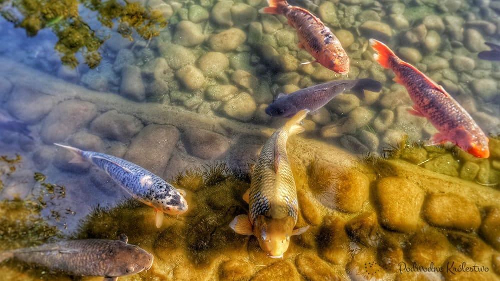 ryby do oczka wodnego