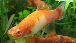 Ryby - mieczyki koi